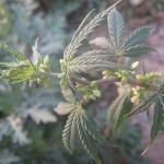 Cannabis Indica (image sous CC)